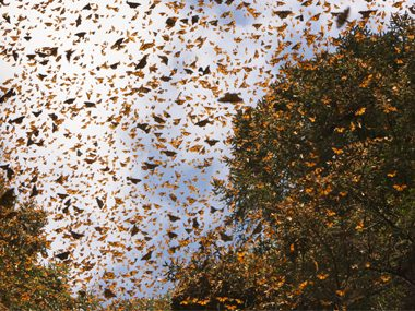 Monarch Butterfly: migration happens over several generations