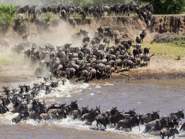 Wildebeest: a migration that's two million strong