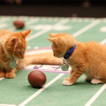 Oh, Cute! When Kittens Play Competitive Football