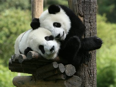 Some pandas don't know how to have sex.