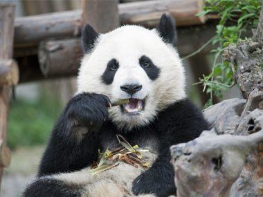 Pandas eat a lot of bamboo.