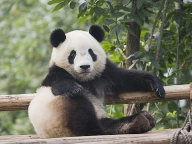 Pandas have six fingers on each paw.