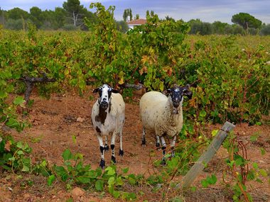 Sheep at a vineyard