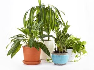 Air purifying plants, from left to right: Jewel of India, Janet Craig, ZZ Plant, Golden Pothos