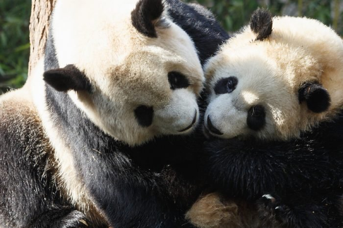 Two pandas are hugging and frolic together