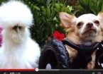 chihuahua and chicken