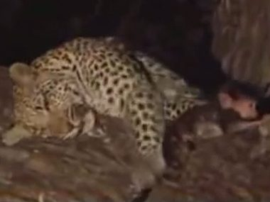 Leopard spares a baby monkey