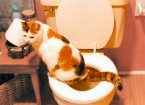 Cat using a toilet.