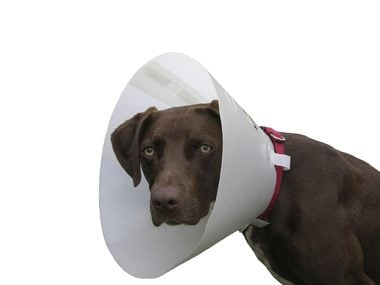 spayed dog