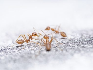 Crazy Ants Could Destroy the Entire Gulf Coast