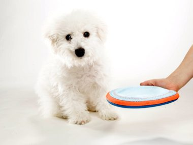 white dog with frisbee