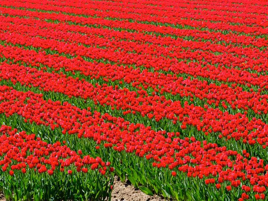 ...a field of tulips.