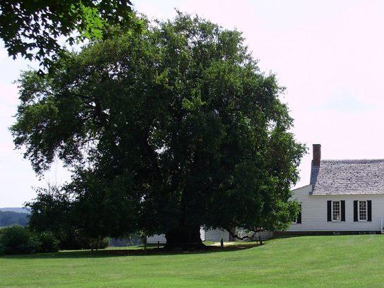 Osage Orange Tree, Virginia