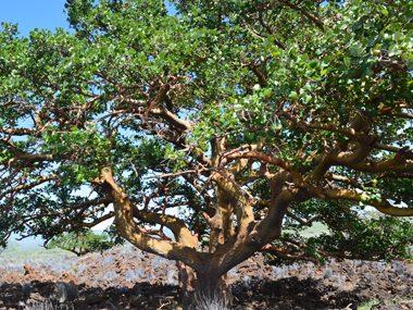 Wili Wili Coralbean, Hawaii