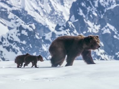 mom and cubs in snow