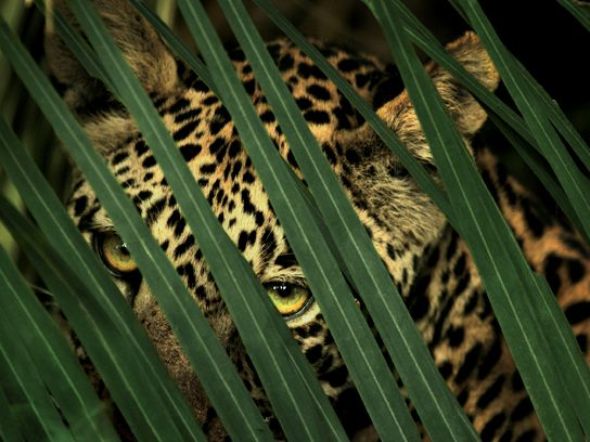 A Leopard Lurks, Botswana, by Beverly Joubert