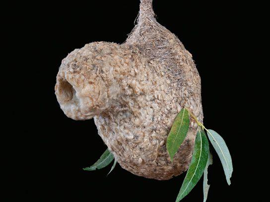 Penduline Tit