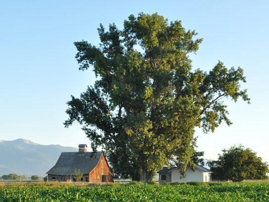 Plains Cottonwood, Montana