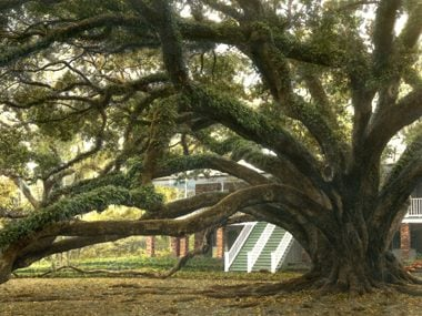 13 Rare Trees That Are National Treasures