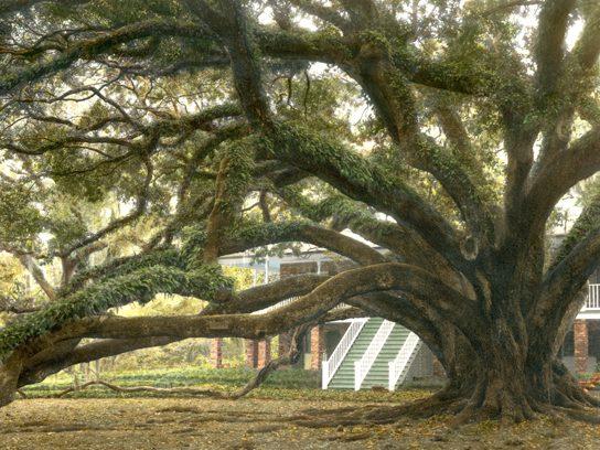 """""""Seven Sisters"""" Live Oak, Louisiana"""