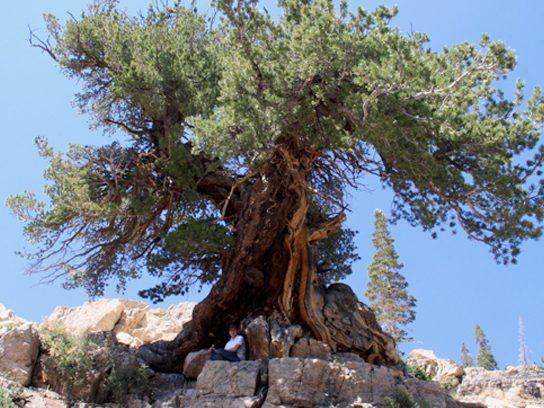 Limber Pine, Utah