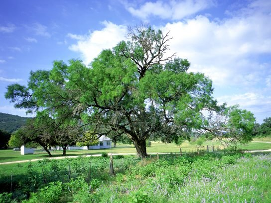 Honey Mesquite, Texas