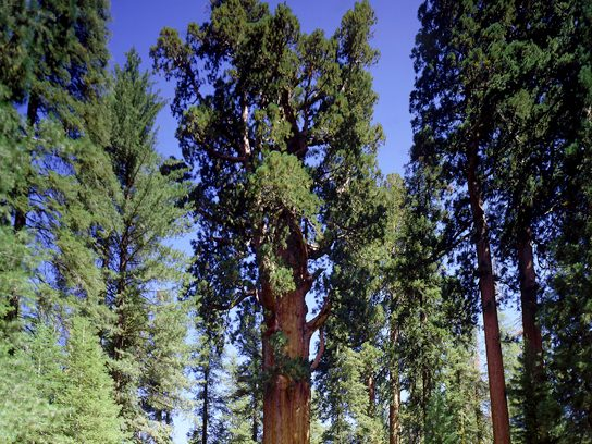 """General Sherman"" Giant Sequoia, California"