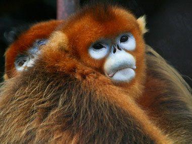 snubnosed monkey