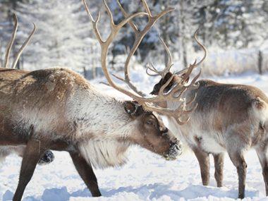 Reindeer have super vision