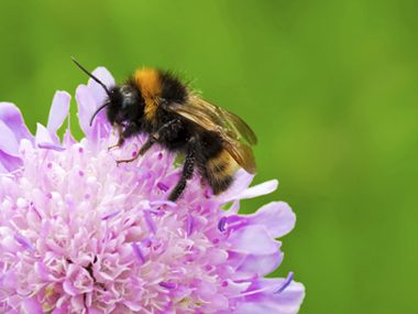 Bumblebees possess a sixth sense