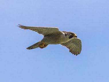 Peregrine falcons have lightening speed
