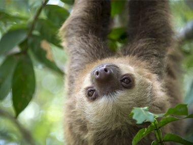 Sloths can survive nearly any wound