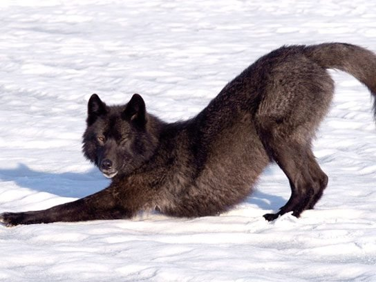 wolf stretching