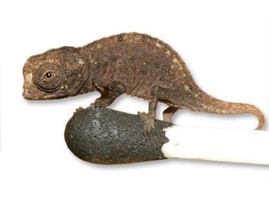 tiniest chameleon