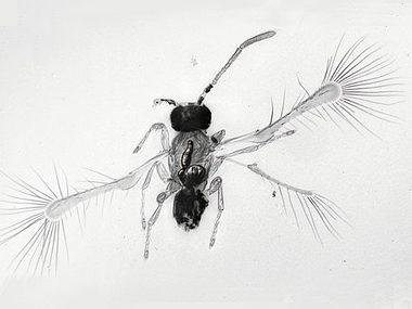 Eyelash-winged wasp
