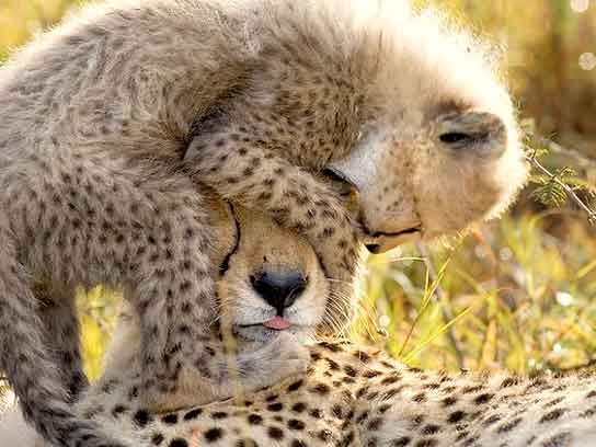 Can We Save the Cheetah From Extinction Readers Digest