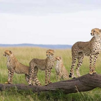 Can We Save the Cheetah From Extinction?
