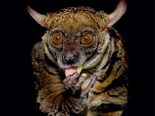 small eared galago