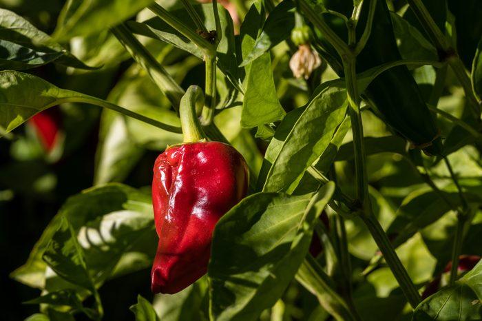 Pepper of Piquillo