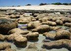 oldest living things stromatolites