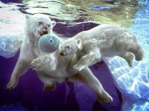 barle the polar bear