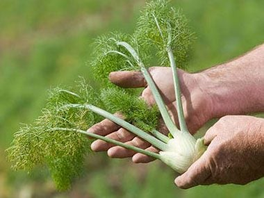 How to grow your own Herbs-Fennel