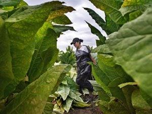 tobacco field worker