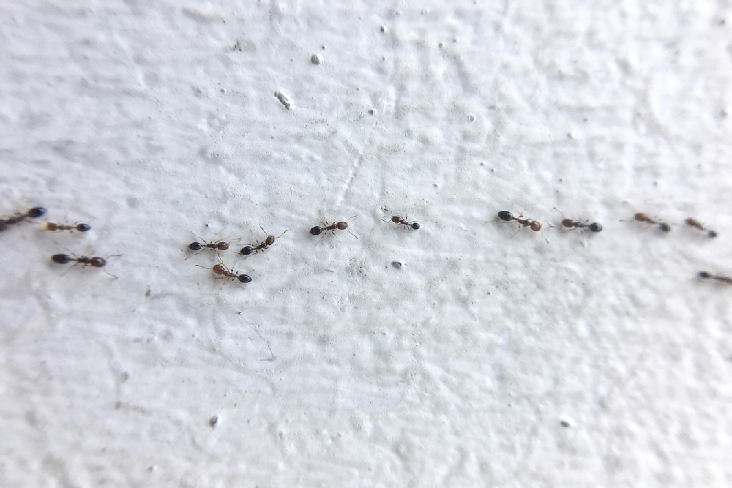 Ant Control Tips To Get Rid Of Ants Without An Exterminator Reader S Digest