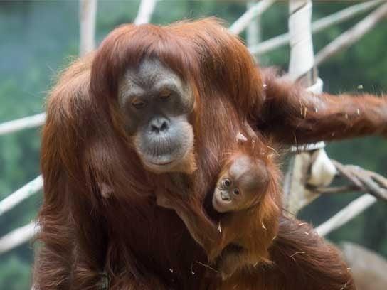 zoo babies orangutan