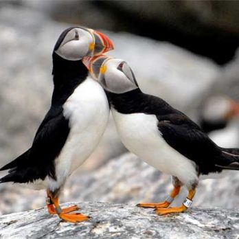 These Perfect Photos of Maine's Puffins Will Give You Hope About Nature