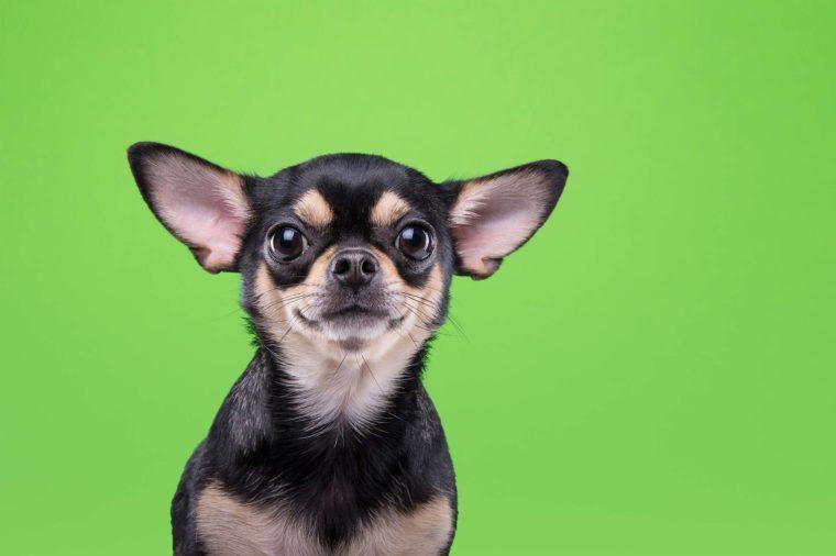 chihuahua on green
