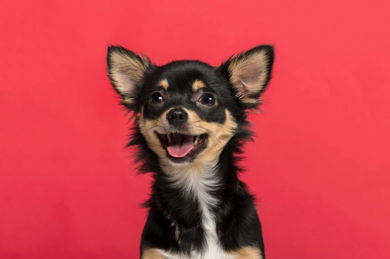 Chihuahua on red