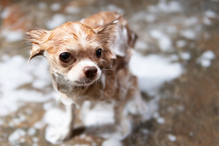 Chihuahua dog taking a shower with soap and water