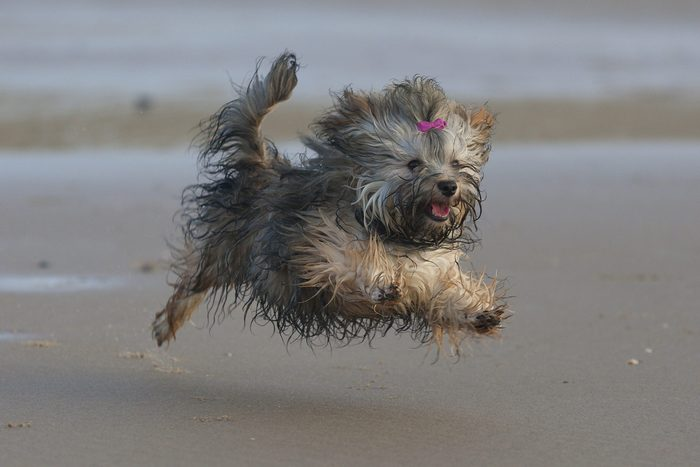 Happy flying wet Havanese puppy!